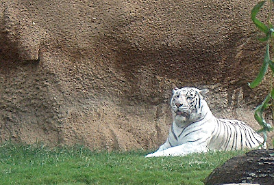 The Memphis Zoo Review - White Tiger Photo by Sylvestermouse