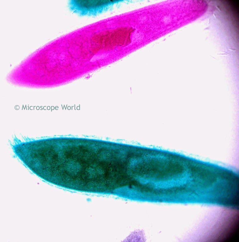 Microscopic image of paramecium at 400x