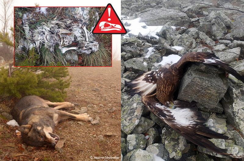 Τέλος στη δηλητηρίαση της άγριας ζωής ζητούν περιβαλλοντικές οργανώσεις και φορείς