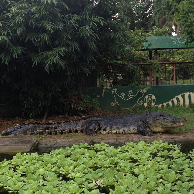 A crocodile at Crocolandia Park