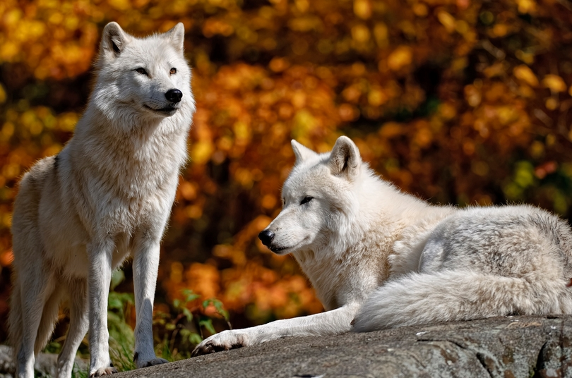 Fall Woods Wallpaper White Wolf Breathtaking Photos Of Wolves In The Woods