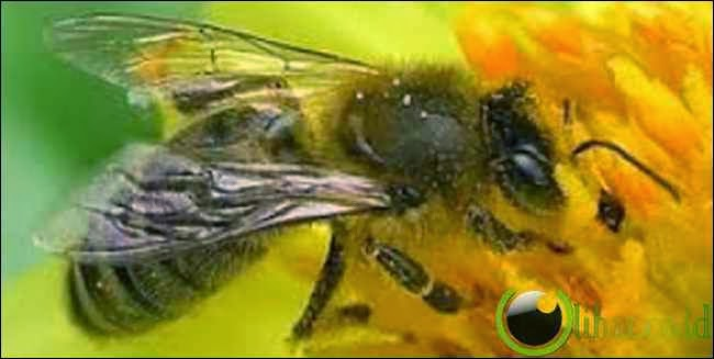 Lebah Menggunakan Matematika Sebagai GPS