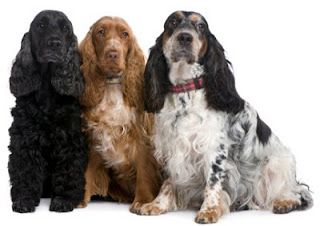 Everything about your English Cocker Spaniel