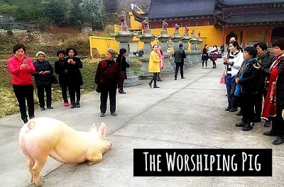 Watch this huge Pig worshiping before a Buddhist Temple in eastern China via geniushowto.blogspot.com rare viral photos and videos