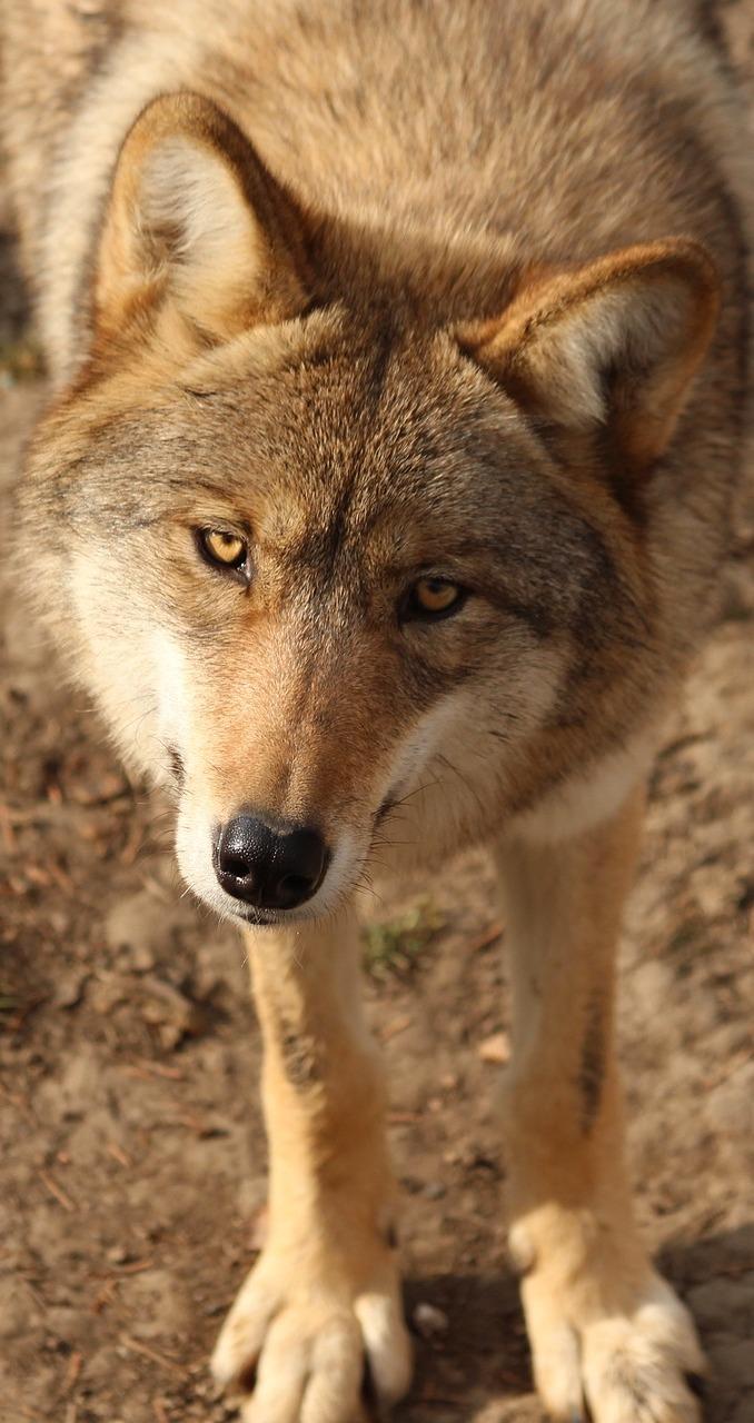Cute wolf.