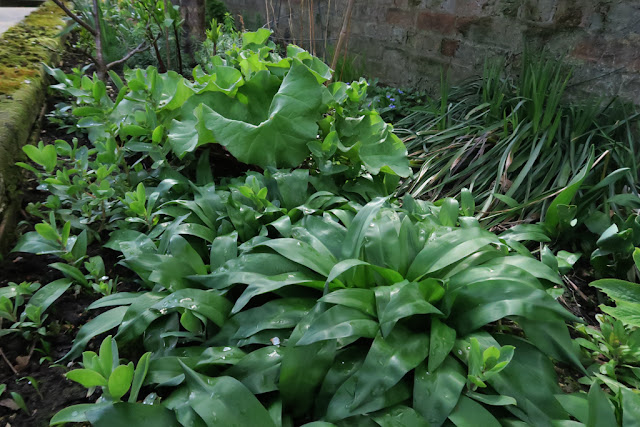 Wild garlic and rhubarb leaves growing in a raised wall border.