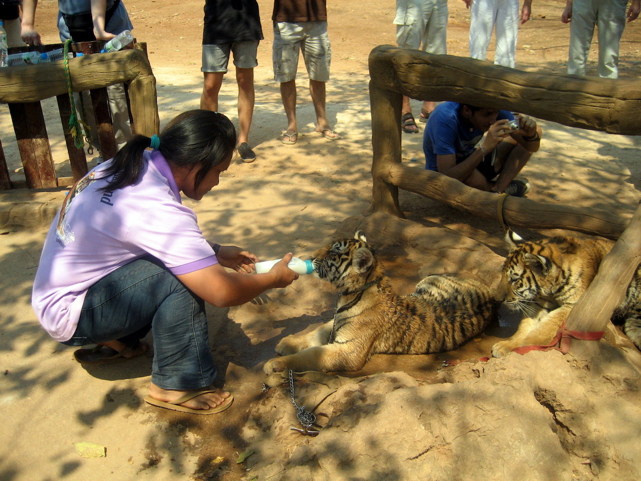 Feeding the Tiger cubs in Thailand Tiger Temple