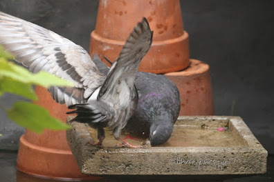 "Two pigeons in a bird bath located within my urban garden. These birds are featured in my book series, 'Words In Our Beak,"" which are available wherever books are sold."