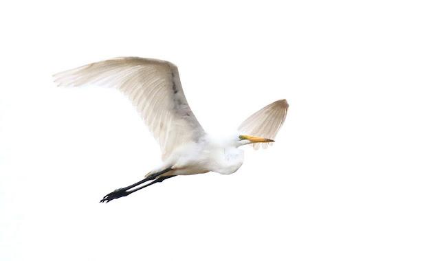 High Key Great Egret