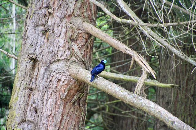 bower bird with blue lid in beak