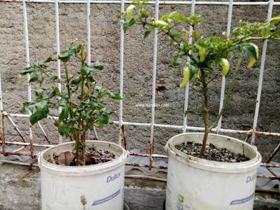 Memanfaatkan bekas kaleng cat untuk pot tanaman