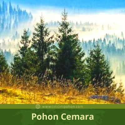 Perbedaan Pohon Pinus dan Pohon cemara