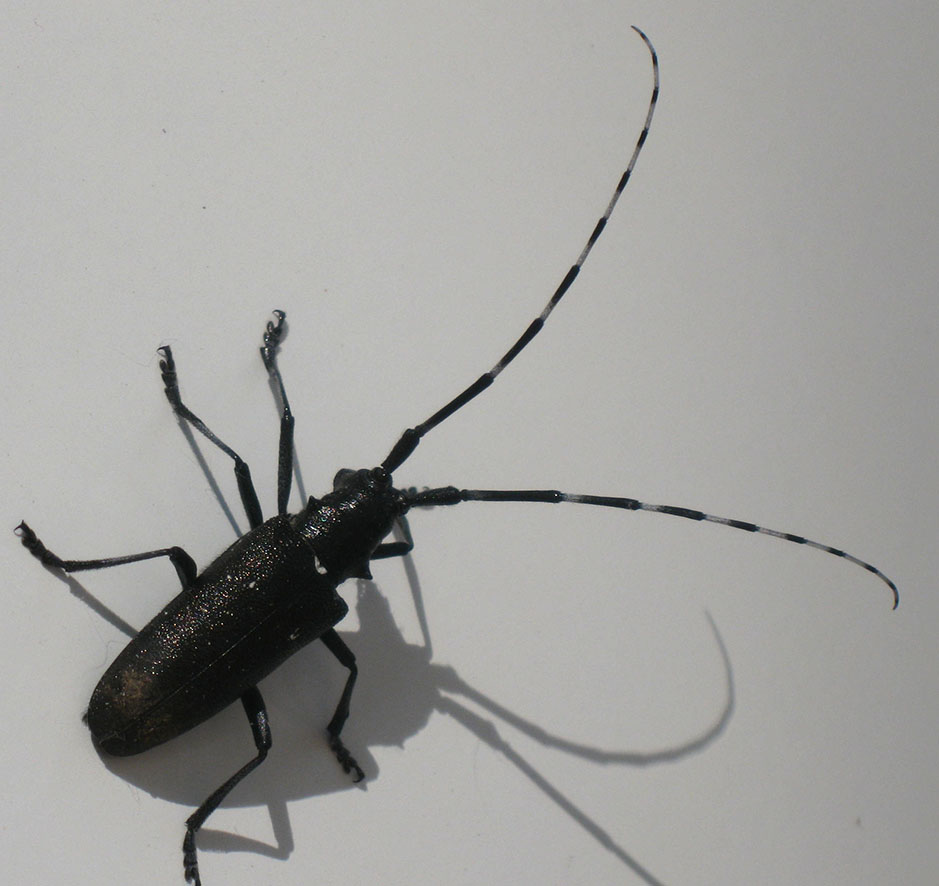 Long White Black Beetle Antennae And