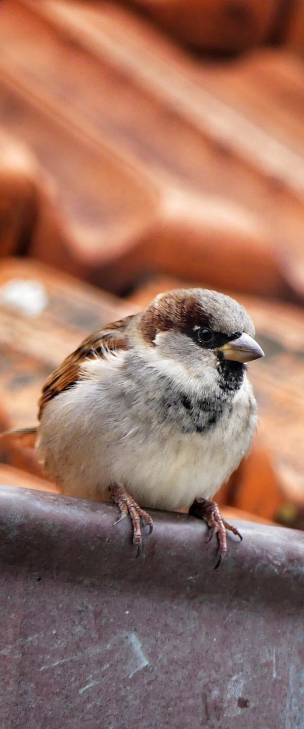 A sparrow on a roof.