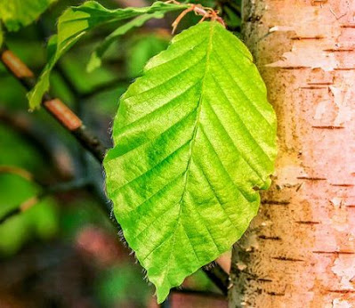 Why are Tree Leaves Geen, Why They Do Not Dry in the Sun