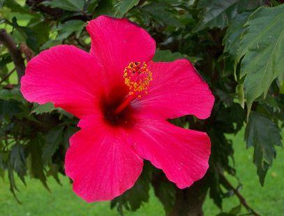Manfaat Dan Khasiat Bunga Sepatu Untuk Kesehatan