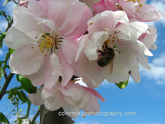 Malus 'Van Eseltine' blossoms - crabapple flower close-up picture