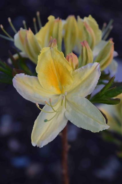 Rhododendron Northern Lights-Gruppen 'Nortern Hi-Lights'