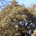 Η λευκή βελανιδιά που ψηφίστηκε ως το «ευρωπαϊκό δέντρο της χρονιάς» (video)