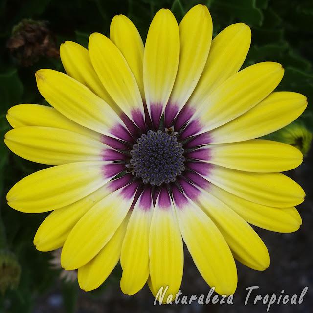 Flor característica de una especie de la familia Asteraceae llamada Osteospermum 'Serenity Blue Eyed Beauty'
