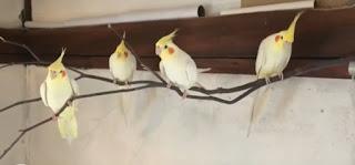 Merawat burung falk atau parkit australia