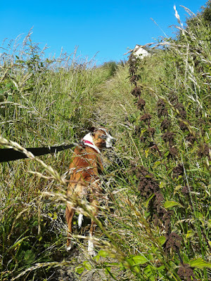 Photo of Ruby leading the way up the overgrown path up Mote Hill