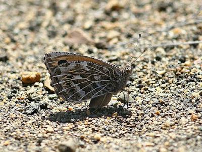 Mariposa patagónica (Argyrophorus chiliensis)