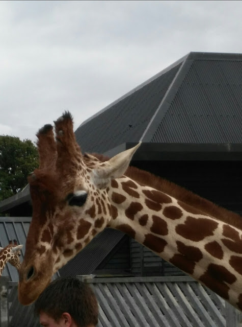 A close up of a giraffe during feeding time