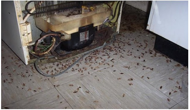 Rumahmu Jadi Sarang Kecoa Dan Tikus? Jangan Khawatir Anda Bisa Coba Bahan Alaminya Ini untuk Membasminya...