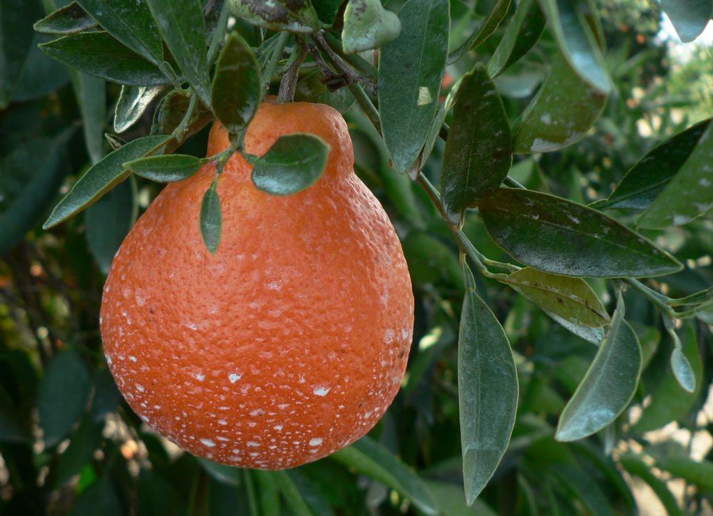 Fruit Warehouse Tangelo
