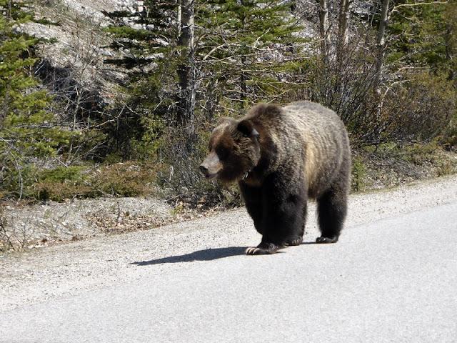 Grizzly en Banff