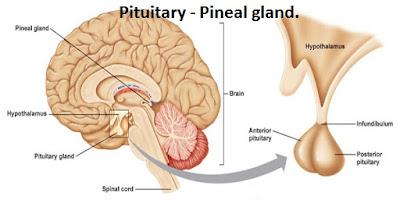 Pituitary_ Pineal gland