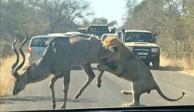 Singa jantan mencoba mengalahkan rusa