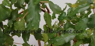 cuidados-begonia-cubensis
