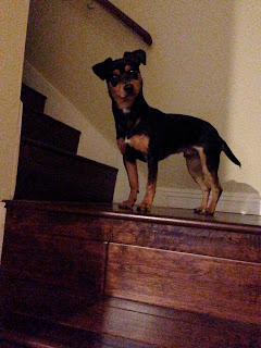 Owning A Doxiepin Dog Is Like Owning A Dachshund Dog