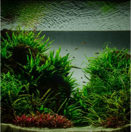 Cây thủy sinh dương xỉ lá kim