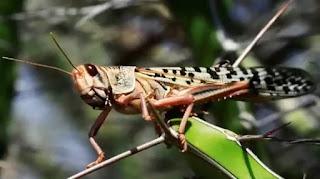 Locust control update