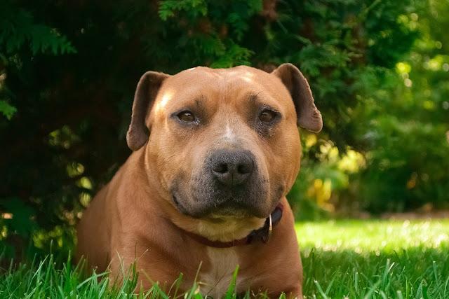 perro perteneciente a una raza de las denominadas como Potencialmente Peligrosa