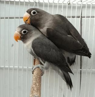 lovebird pastel ngekek