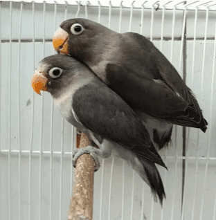 harga burung labet