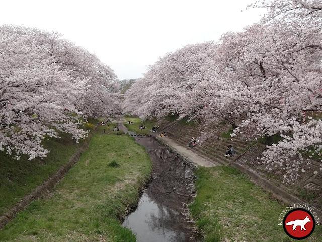Sakura à la campagne de Kyoto