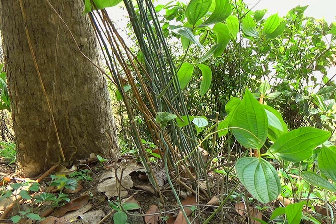 Dlium Gadung (Dioscorea hispida)