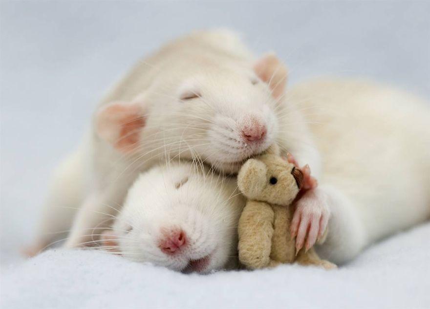 cute-pet-rats-4