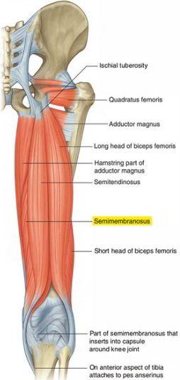 Anatomi semimembranosus origo, insersi, aksi, saraf, arteri. Anatomi Semimambranosus merupakan otot ekstremitas inferior (tungkai bagian atas).