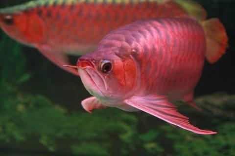 Hướng dẫn 5 bước thiết lập hồ nuôi cá rồng