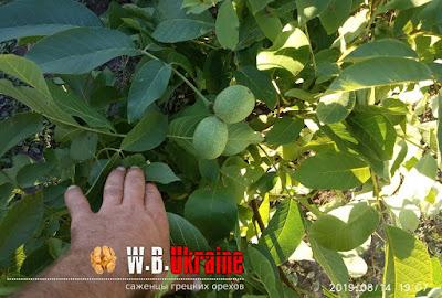 Грецкий Орех Кочерженко Купить Украина, 0985674877, 0957351986, Walnuts Broker