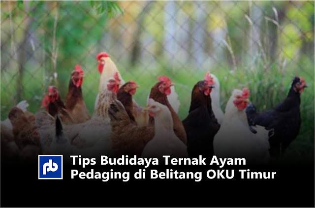 Tips Budidaya Ternak Ayam Pedaging di Belitang OKU Timur