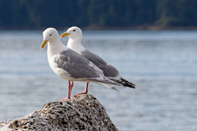 Glaucous-winged and Western Gulls