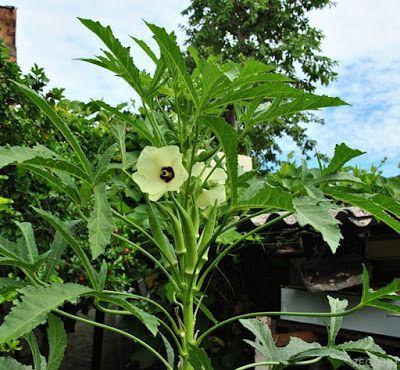 A foto mostra um lindo e vigoroso pé de quiabeiro. O quiabo é uma hortaliça, de origem africana é mais comum no Sudeste e Nordeste do Brasil.