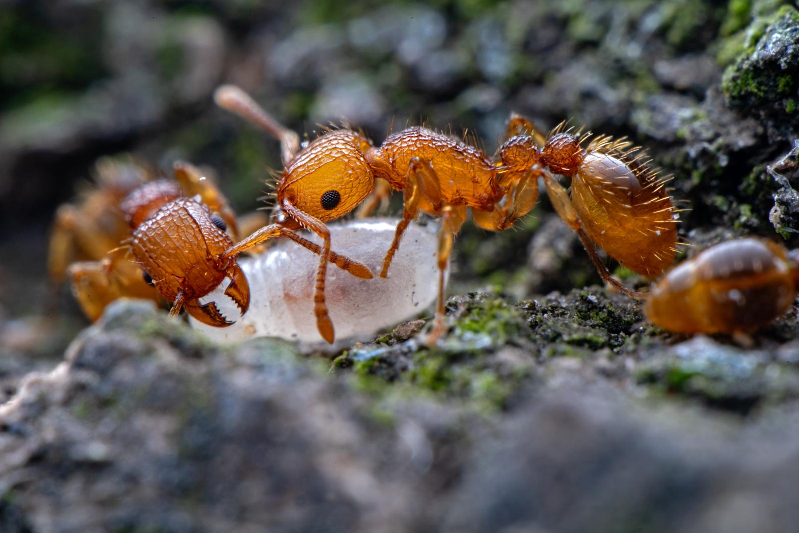 Макрофотография муравьи